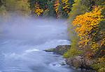 Umpqua National Forest, OR: Big leaf maple in fall color on the foggy North Umpqua River