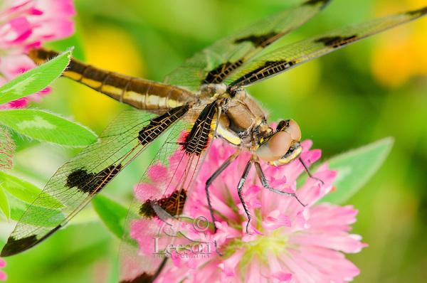Dragonfly [Twelve-spot Skimmer (Libellula pulchella)] resting on red clover flower on cool morning.  Pacific Northwest.  Summer.