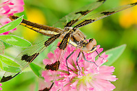 Dragonfly [Twelve-spot Skimmer (Libellula pulchella)] resting on red clover flower on cool morning.  Pacific Northwest.  Summer.