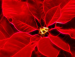 Abstract artwork of Poinsettia - red Christmas flower leaves