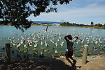 Boy and gulls and ducks in Palo Alto
