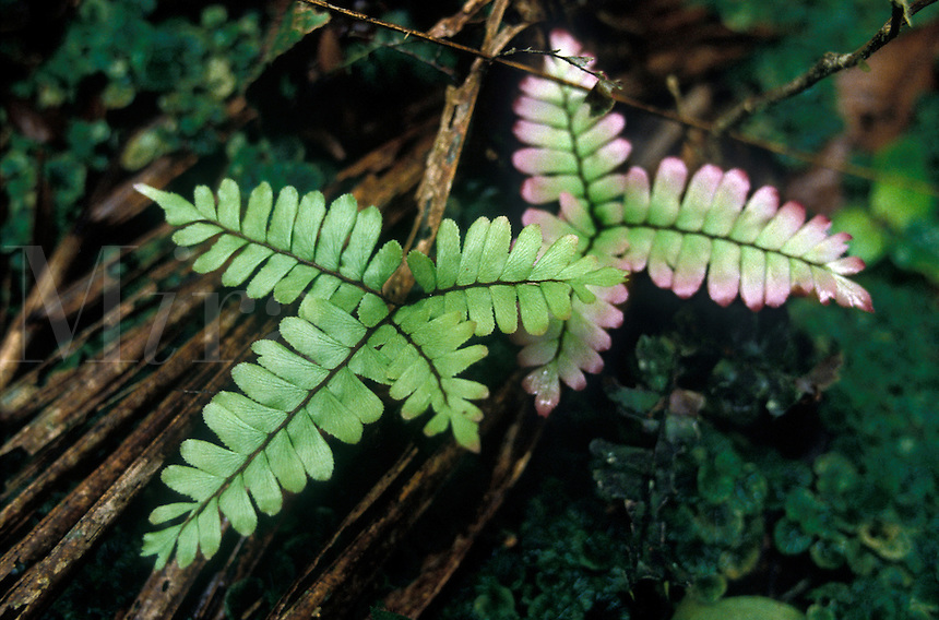 Adiantum Fern, family Adiantaceae, in Tropical Rain Forest, Acre, Brazil