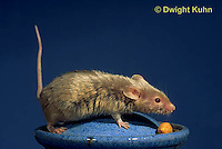 MU60-032z  Pet Mouse - exploring