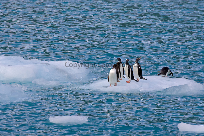 Six gentoo penguins standing on an ice flow; one of them is diving into the water, near South Georgia
