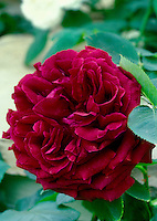 Rosa 'Munstead Wood' David Austin deep red roses, double crimson shrub rose aka Ausbernard, English roses