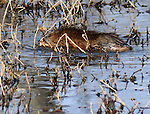 Beaver seen at Esopus Bend Nature Preserve, in Saugerties, NY, on Tuesday, March 22, 2016. Photo by Jim Peppler. Copyright Jim Peppler 2016.