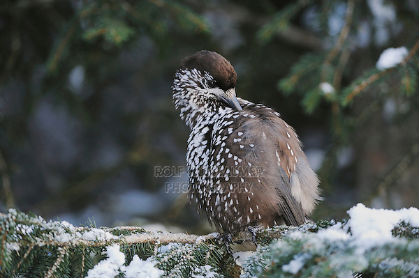 Spotted Nutcracker (Nucifraga caryocatactes), adult preening on Norway spruce ruffled by minus 15 Celsius, Davos, Switzerland, Europe