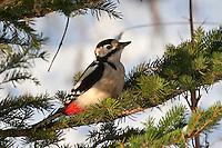Buntspecht, Männchen, Bunt-Specht Specht, Dendrocopos major, Great Spotted Woodpecker, Pic épeiche