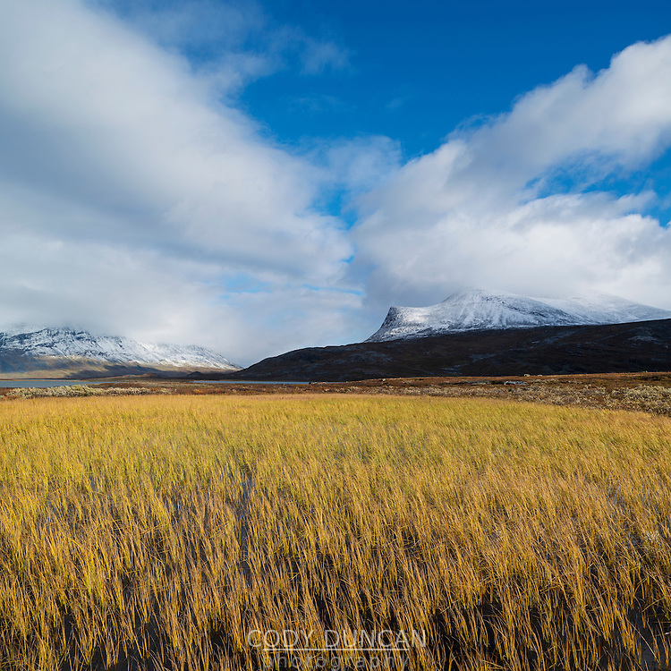 Yellow Autumn grasses in bog along Kungsleden trail, Lappland, Sweden