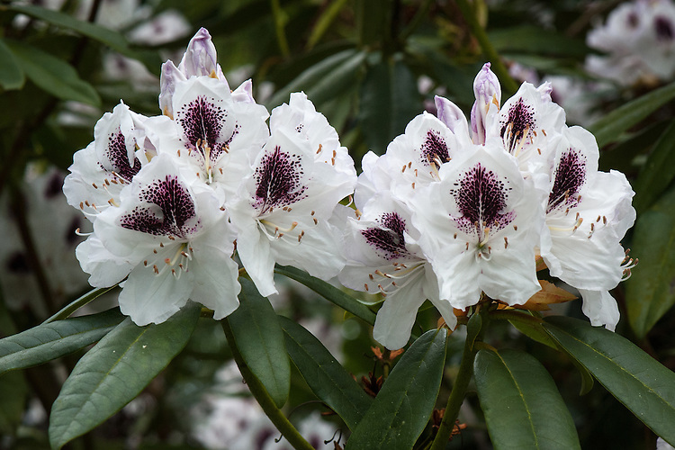 Rhododendron 'Sappho', late May. White flowers in early summer, each with a bold blackish-purple flare.