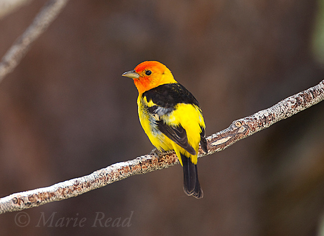 Western Tanager (Piranga ludovicianus), male, Mono Lake Basin, California, USA