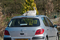White Peahen sitting on a car roof, Whitewell, Lancashire.