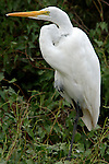 Great Egret, Casmerodius albus, on edge of bank, Florida Everglades, white. .USA....