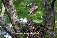 00794-00605 Red-shouldered Hawks (Buteo lineatus) adult and nestlings at nest, Marion Co., IL