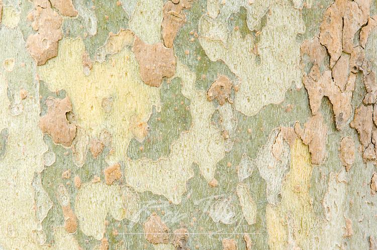 USA, NM, Albuquerque, Sycamore Tree Trunk Detail