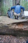 David Lindenmayer Transversing Tree With Traps