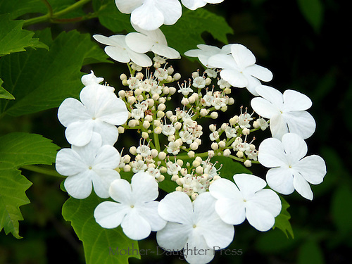 Stunning white flower oakleaf hydrangea blooms in rural garden
