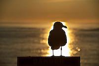 Seagull sunrise.