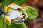 Inflorescence de melaleuca dawsonii