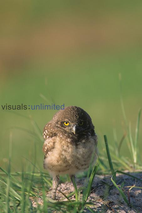 Burrowing Owl ,Athene cunicularia,, Florida, USA.