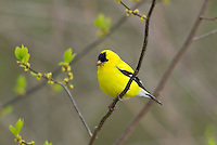 Male American Goldfinch (Carduelis tristis)