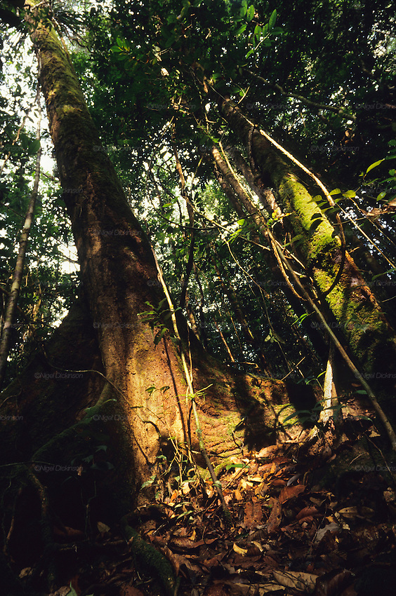 PRIMARY TROPICAL RAINFOREST, MALAYSIA. Sarawak, Borneo, South East Asia.  Interior, trees, roots, vines, undergrowth, forest floor. Tropical rainforest and one of the world's richest, oldest eco-systems, flora and fauna, under threat from development, logging and deforestation. Home to indigenous Dayak native tribal peoples, farming by slash and burn cultivation, fishing and hunting wild boar. Home to the Penan, traditional nomadic hunter-gatherers, of whom only one thousand survive, eating roots, and hunting wild animals with blowpipes. Animists, Christians, they still practice traditional medicine from herbs and plants. Native people have mounted protests and blockades against logging concessions, many have been arrested and imprisoned.