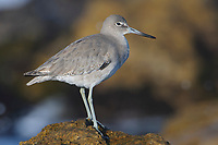 Willet (Catoptrophorus semipalmatus) perched on coastal rocks. Monterey County, California. November.