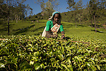 lush tea plantations nearby Nuwara Eliya
