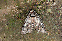 Weidenbohrer, Weiden-Bohrer, Cossus cossus, goat moth