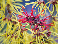 Witch Hazel blossoms.