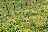Stock photo of a wooden fence and a hill slope filled with wild grass and buttercup flowers in cades cove of the great smoky mountains national park.
