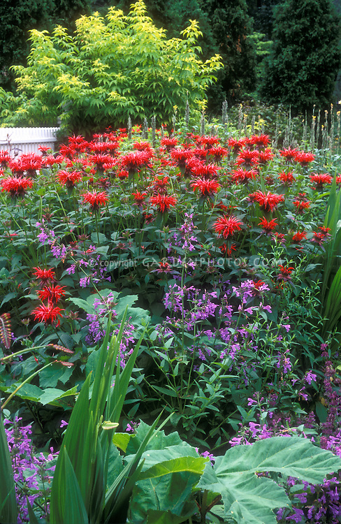 Monarda didyma 'Jacob Cline' red beebalm in garden, in combination with other perennial plants, trees, fence