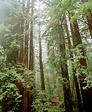 USA, California, Mendocino, Redwood trees in the forest, Hwy 1 on the road to Mendocino