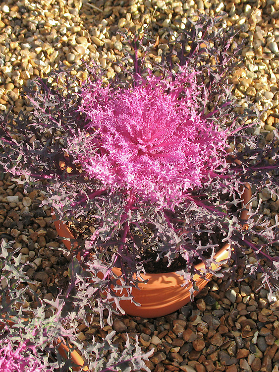 Ornamental kale in pot container in winter, on pebbles, Peacock Red variety, very frilly and dissected foliage leaves, fringed