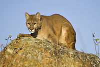 Cougar lying on top of a rock - CA