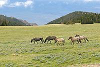 Wild Horse herd or feral horses (Equus ferus caballus).  Western U.S., summer.