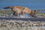 Pictured:    A wolf carries an enormous salmon in his mouth after a successful hunting trip.<br /> <br /> The predator is pictured trotting away from the water with its prize gripped firmly in its mouth.<br /> <br /> Seconds before the wolf was captured plunging its head into the river after spotting a shoal of salmon in shallow waters.<br /> <br /> The hunt took place at Katmai National Park and Preserve, Alaska, USA.   SEE OUR COPY FOR FULL DETAILS.<br /> <br /> Please byline: Steve Laycock/Solent News<br /> <br /> © Steve Laycock/Solent News & Photo Agency<br /> UK +44 (0) 2380 458800
