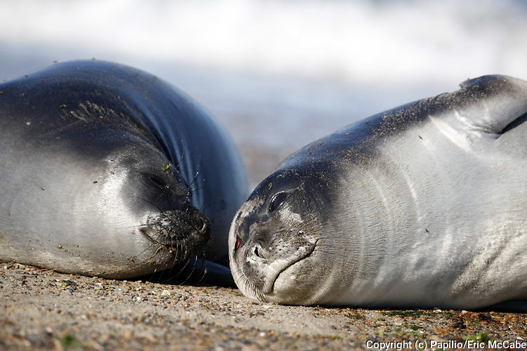 Southern Elephant Seal, Mirounga leonina, two females at Valdes peninsula