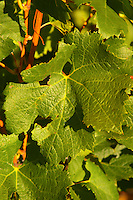 A Merlot leaf on the vine at Chateau Lafleur, Pomerol, Bordeaux.