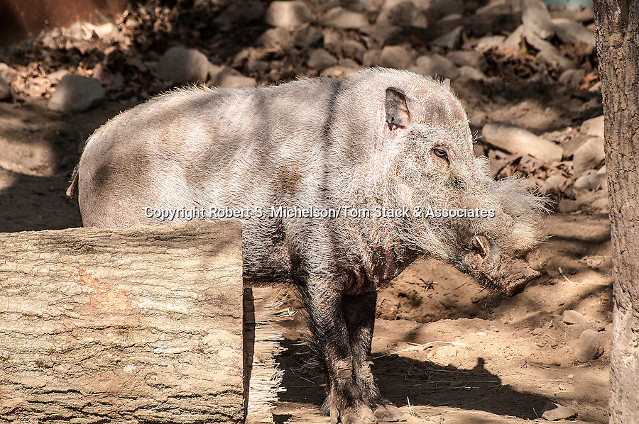 borneo bearded pig facing right full body view