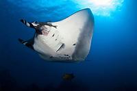 Giant Manta ray, manta birostris, San Benedicto Island Revillagigedo archipelago, Pacific ocean, Mexico