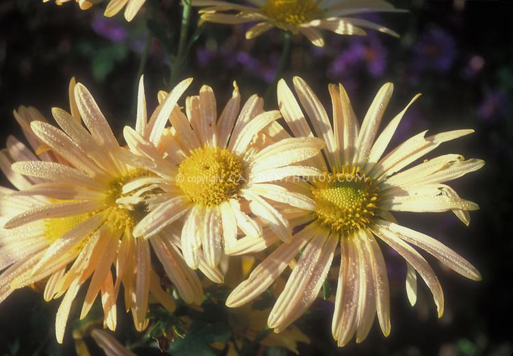 Chrysanthemum Mary Stoker in yellow flower