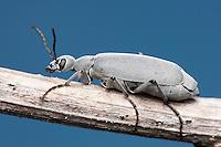 Florida Blister Beetle (Epicauta floridensis), Highlands Hammock State Park, Sebring, Florida.