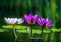 Three water lilies in a pool