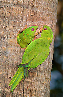566700059 a wild pair of green parakeets aratinga holochlora perch at a cavity nes in a large palm tree in mcallen texas