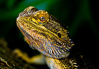 Bearded Dragon is the common name for any agamid lizard in the genus Pogona. They are native to Australia.