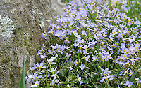 Stock image of pretty little wildflowers Bluets grown near a rock in the great smoky mountain national park, Tennessee, America.