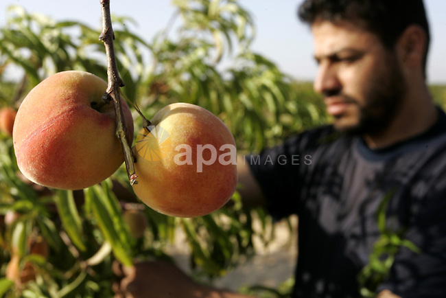 A Palestinian farmer inspects the peach trees in the land named (Mahrarat) left by the settlers in 2005, in west of Khan Younis in the southern Gaza Strip on May 24, 2011. Photo by Abed Rahim Khatib