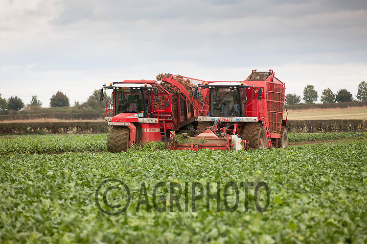 Contractors M &amp; J  carting sugar beet in Lincolnshire with a Vervaet Hydro Trike the only one in the United Kingdom<br /> Picture Tim Scrivener 07850 303986