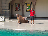 Atlantic walrus, Odobenus rosmarus rosmarus and trainer waving (c)